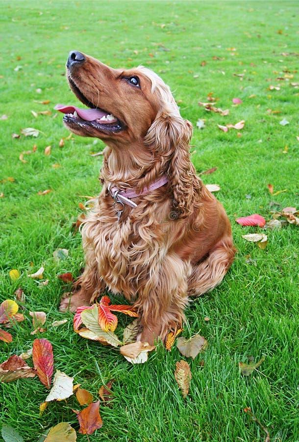 斗鸡家英语下跌叶子西班牙猎狗注意 免版税库存照片