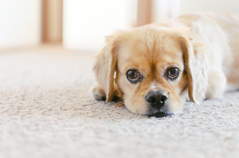 斗鸡家西班牙猎狗Pekingese十字架品种,逗人喜爱的小狗眼睛 库存图片