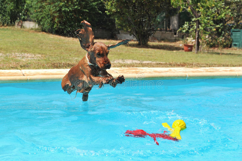 斗鸡家跳的西班牙猎狗 免版税库存照片