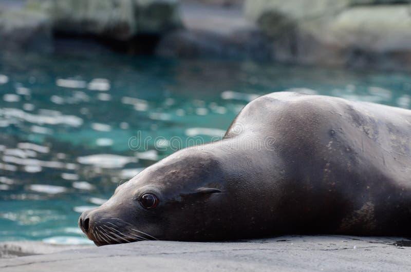 斜倚的海狮 免版税库存照片