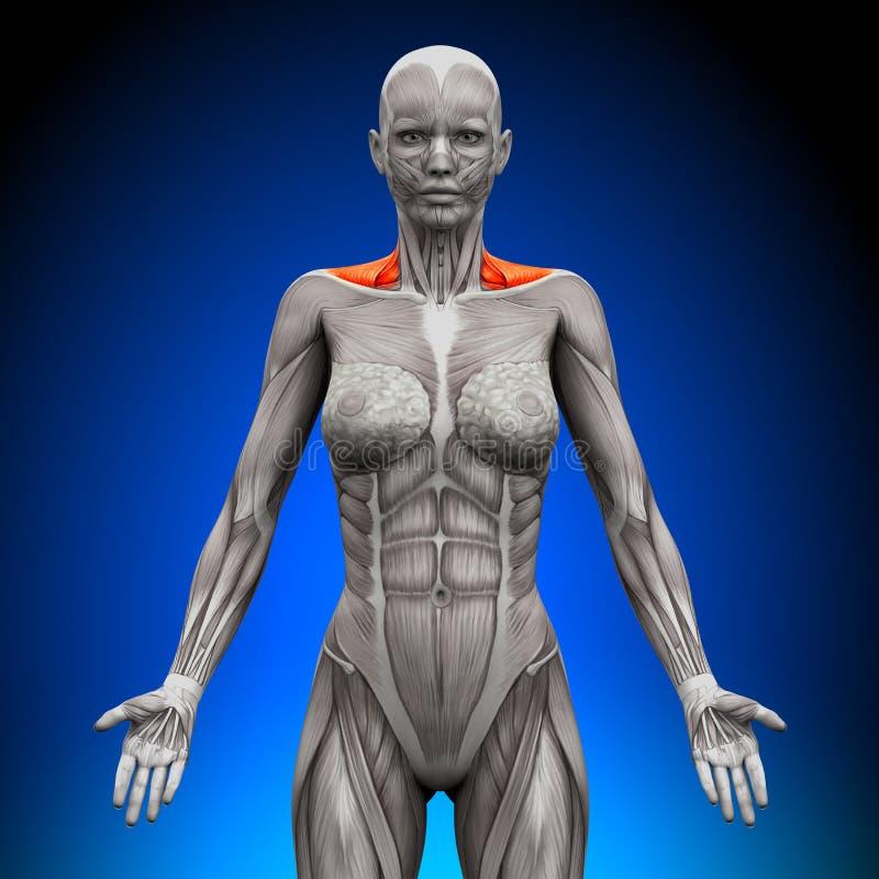 斜方肌前面/脖子干涉-女性解剖学 皇族释放例证