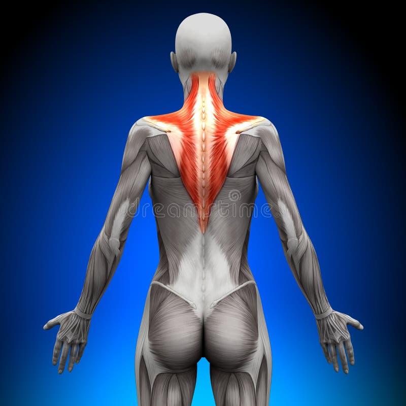 斜方肌-女性解剖学肌肉 皇族释放例证