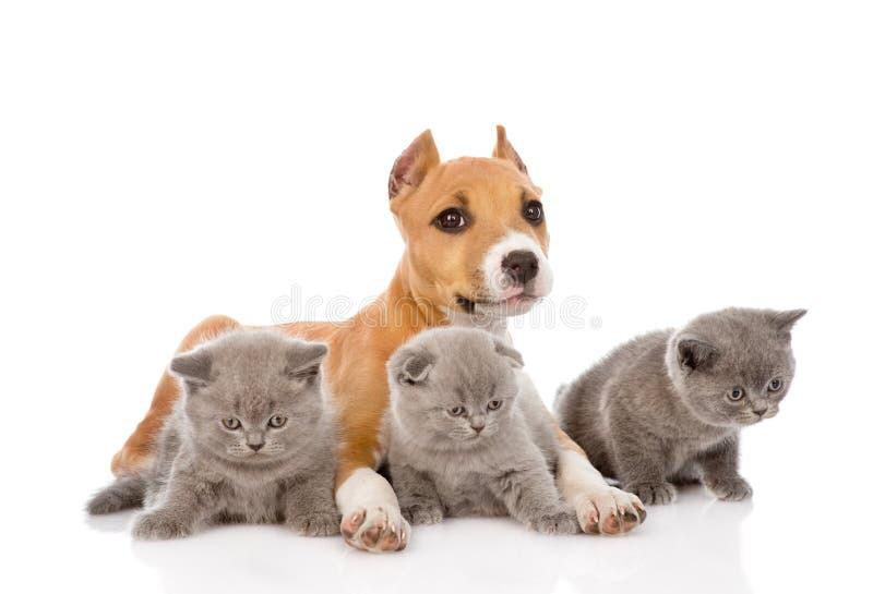 斯塔福德的小狗和一起说谎三只的小猫 查出在白色 免版税库存图片