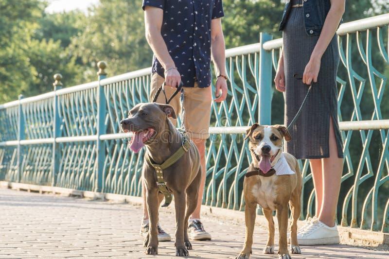 斯塔福德郡狗和他们的所有者在街道 图库摄影