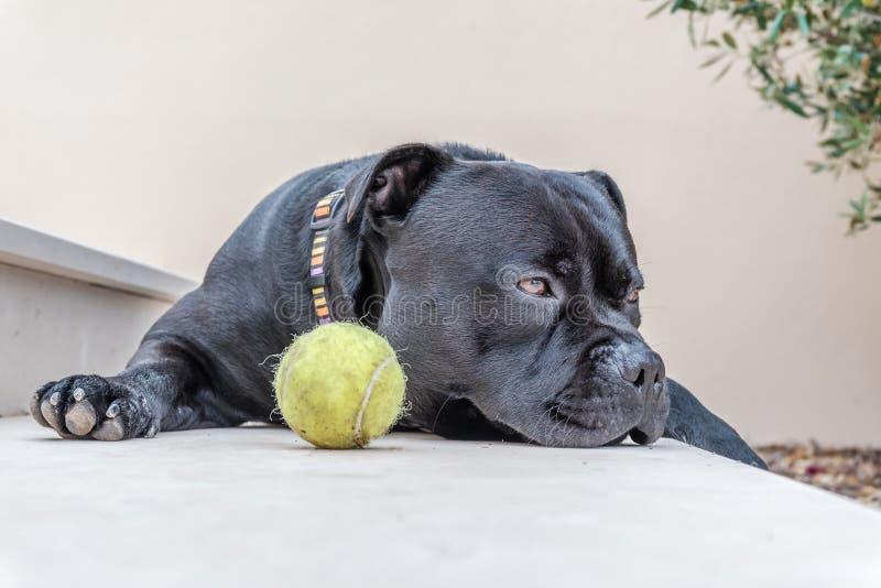 斯塔福德郡说谎在步的杂种犬狗由网球 免版税库存图片