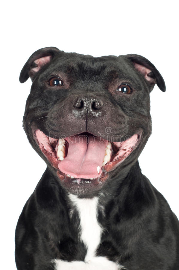 兴高采烈的斯塔福郡杂种犬狗 免版税库存照片