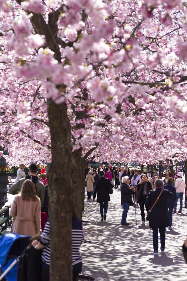 斯德哥尔摩/瑞典- 2018年5月2日:樱花树在斯德哥尔摩 图库摄影