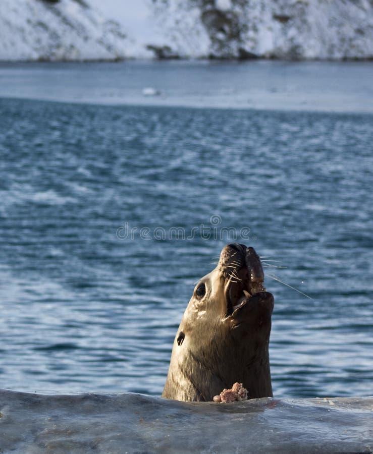 斯特勒海狮 免版税图库摄影