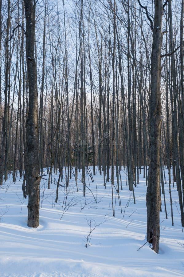 斯诺伊与阴影的森林地树 免版税库存照片