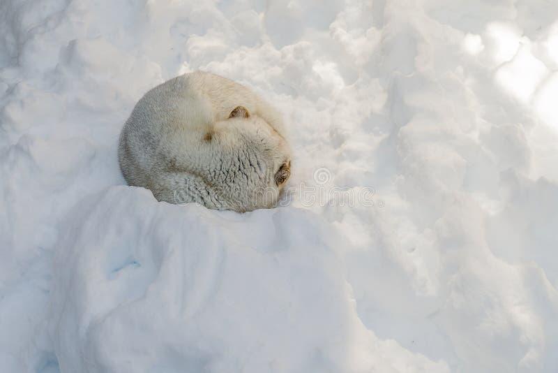 斯诺伊在雪的狐狸睡眠 免版税库存照片
