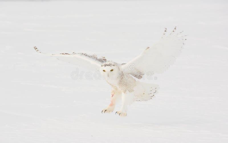 斯诺伊在领域的猫头鹰着陆 免版税图库摄影