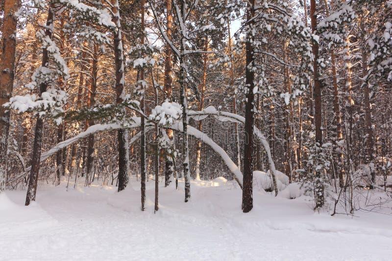斯诺伊日落的杉木森林在冬天,俄罗斯,西伯利亚 免版税库存照片