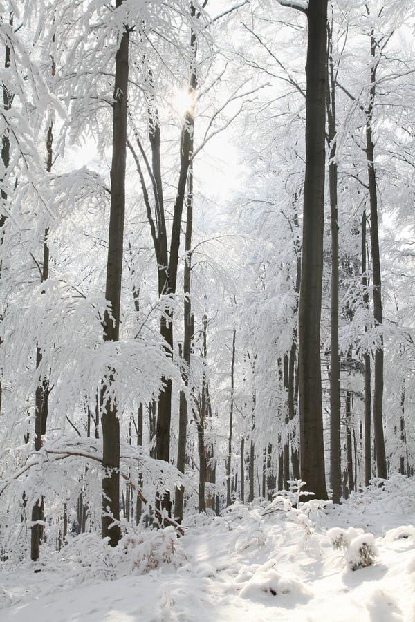 斯诺伊早晨太阳点燃的冬天森林 免版税库存图片