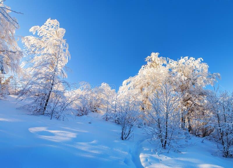 斯诺伊树反射阳光 免版税库存照片