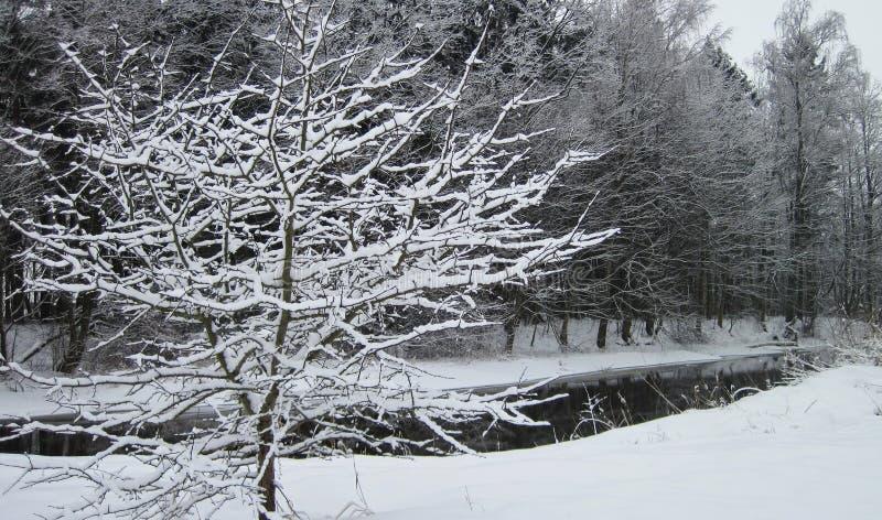 斯诺伊树在冬天临近河,立陶宛 免版税库存照片