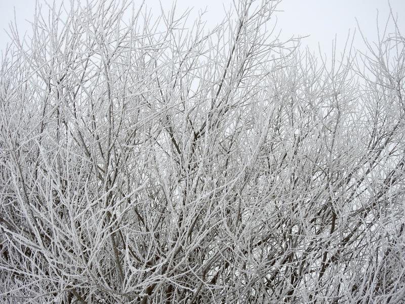 斯诺伊灌木在冬天,立陶宛 免版税图库摄影