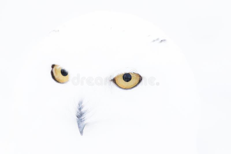 斯诺伊猫头鹰、腹股沟淋巴肿块scandiacus、关闭画象与眼睛和羽毛细节加上被弄脏的雪背景 冬天苏格兰 库存照片