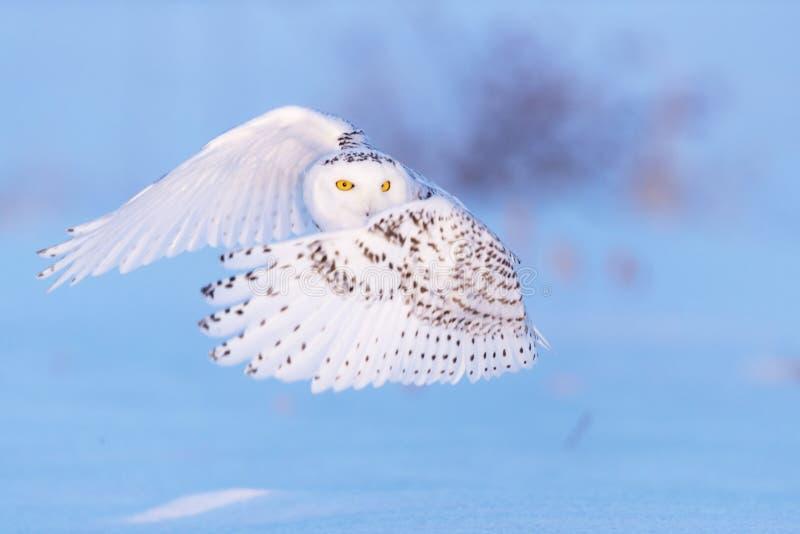 斯诺伊猫头鹰和黄色眼睛 库存图片