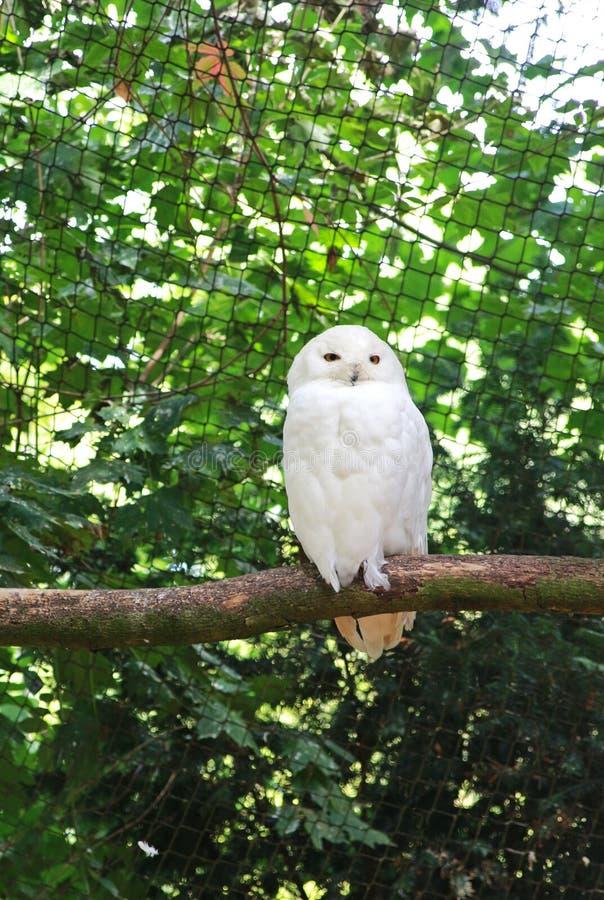 斯诺伊猫头鹰坐一个分支在鸟舍 库存照片