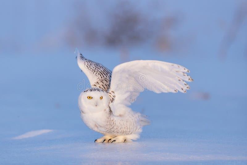 斯诺伊猫头鹰姿势 库存照片