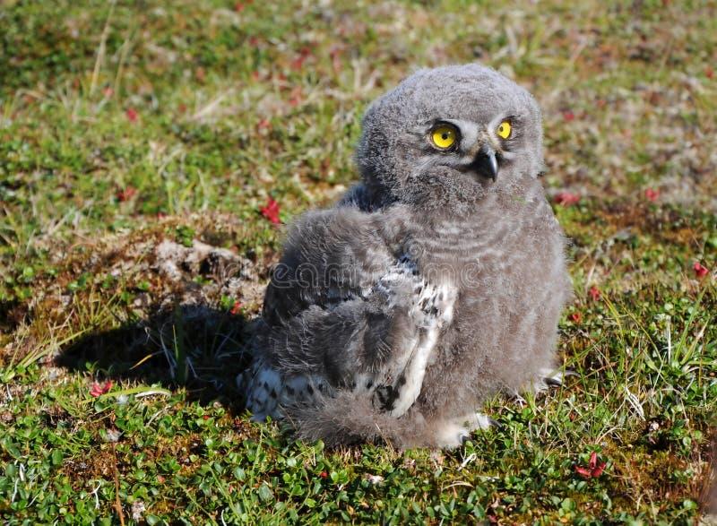 斯诺伊猫头鹰小鸡(腹股沟淋巴肿块scandiacus) 免版税库存照片