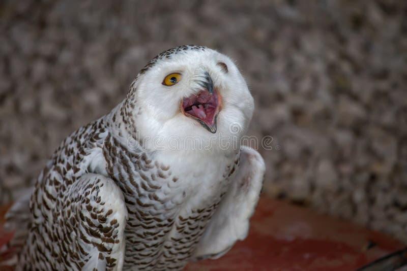 斯诺伊猫头鹰显示它的开放嘴 库存照片