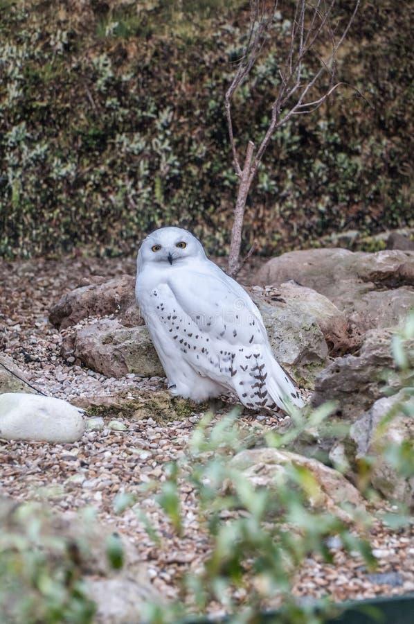 斯诺伊猫头鹰狩猎 库存图片