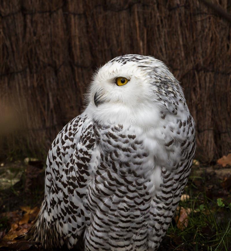 斯诺伊猫头鹰,腹股沟淋巴肿块scandiacus是猫头鹰家庭的一头大,白色猫头鹰 免版税图库摄影