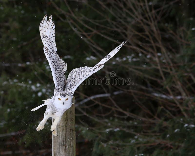 斯诺伊猫头鹰起飞 库存图片