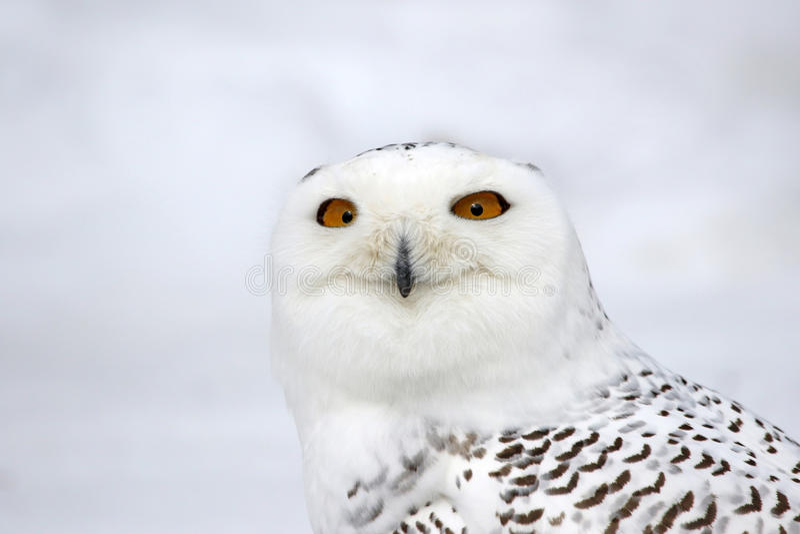 斯诺伊猫头鹰面孔 免版税库存图片