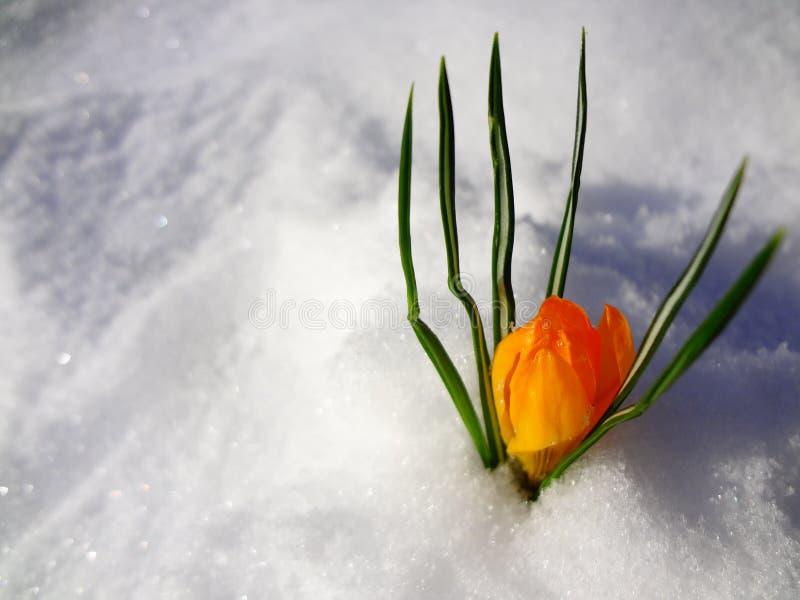 斯诺伊番红花 第一花春天 库存图片