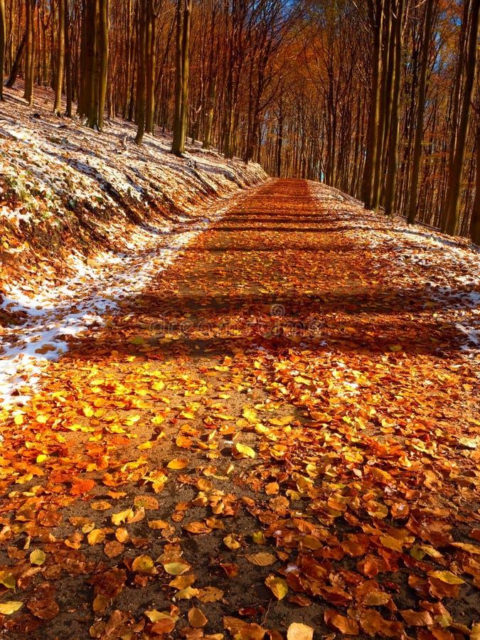 斯诺伊道路在山毛榉树下在早期的冬天森林里 库存图片
