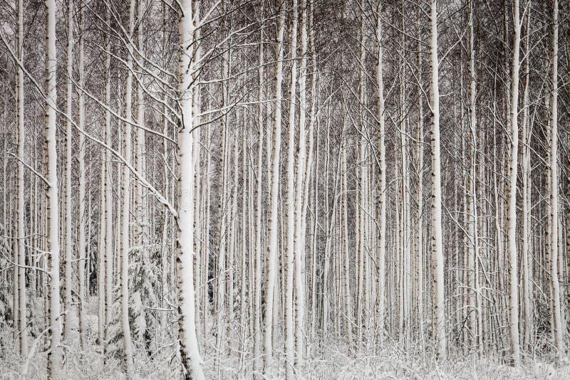 斯诺伊结构树在森林里 免版税库存照片
