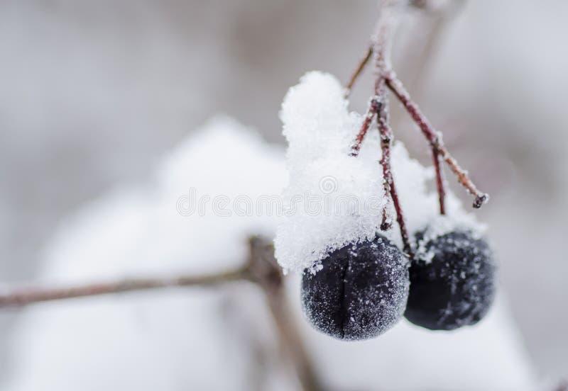 斯诺伊黑色莓果垂悬 库存照片