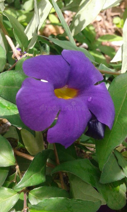 斯里兰卡库鲁纳加拉山城野花 免版税库存图片
