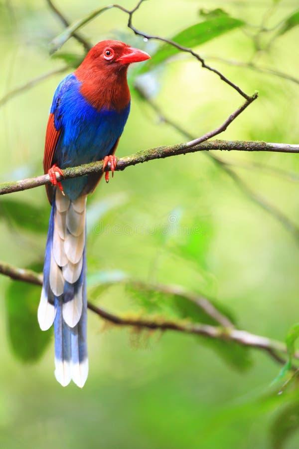 斯里兰卡或锡兰蓝色鹊 免版税图库摄影