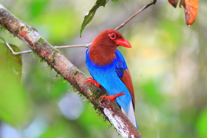 斯里兰卡或锡兰蓝色鹊 库存图片