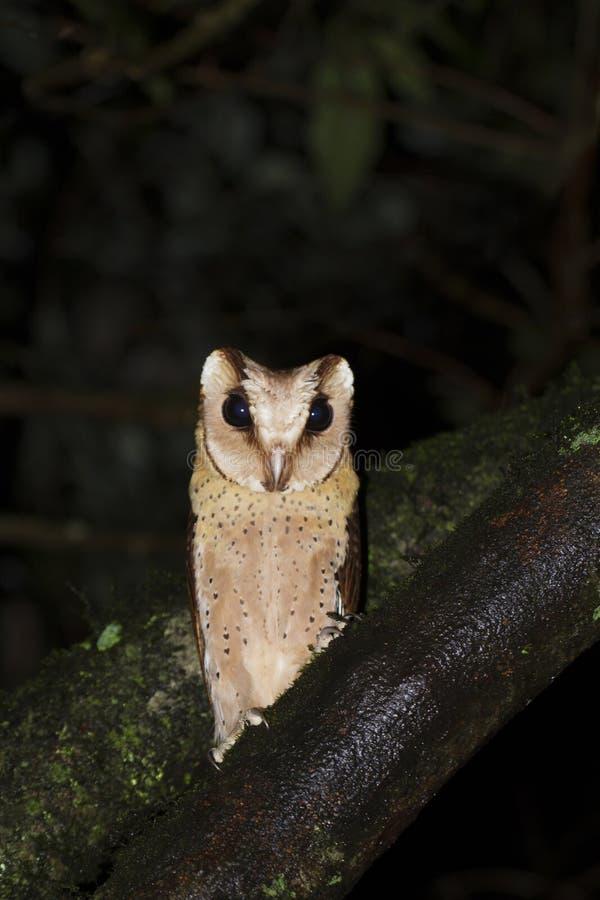 斯里兰卡海湾猫头鹰,Valaparai,Tamilnadu,印度 免版税库存图片