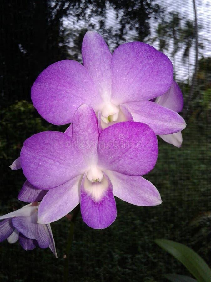 斯里兰卡的兰花花 免版税图库摄影