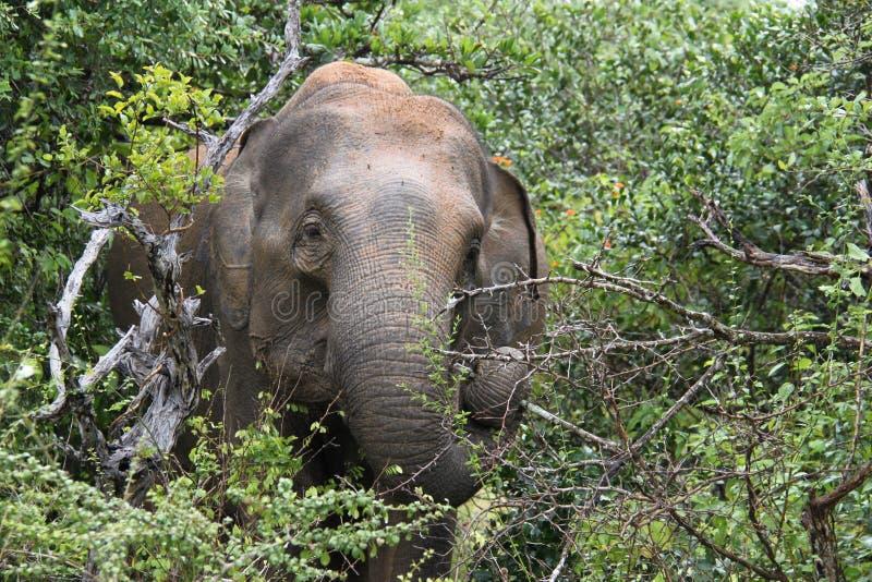 斯里兰卡的大象 库存图片