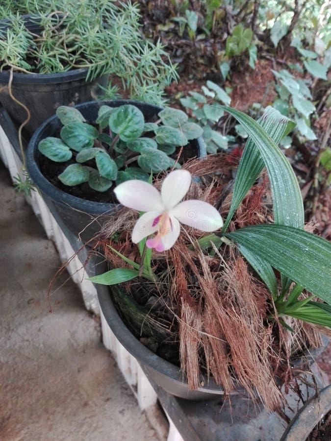 斯里兰卡的好orkid花 免版税图库摄影