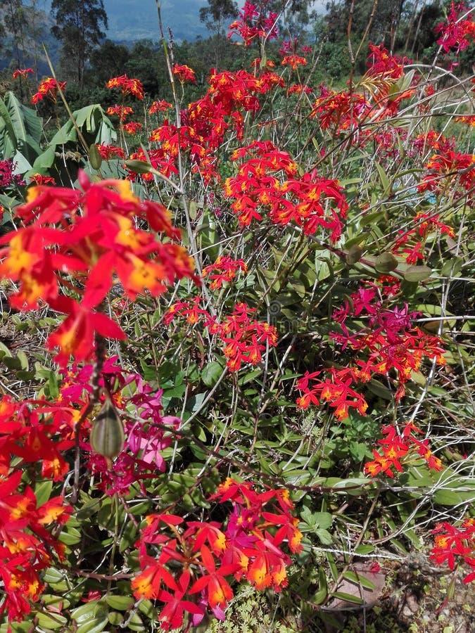 斯里兰卡的好orkid花 库存照片