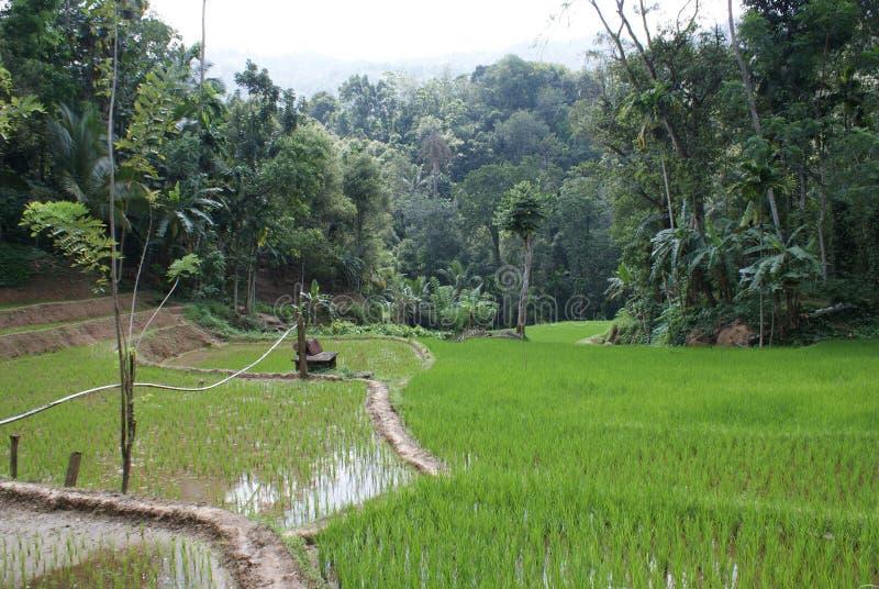 斯里兰卡的文化的人生的稻耕种米  免版税库存图片