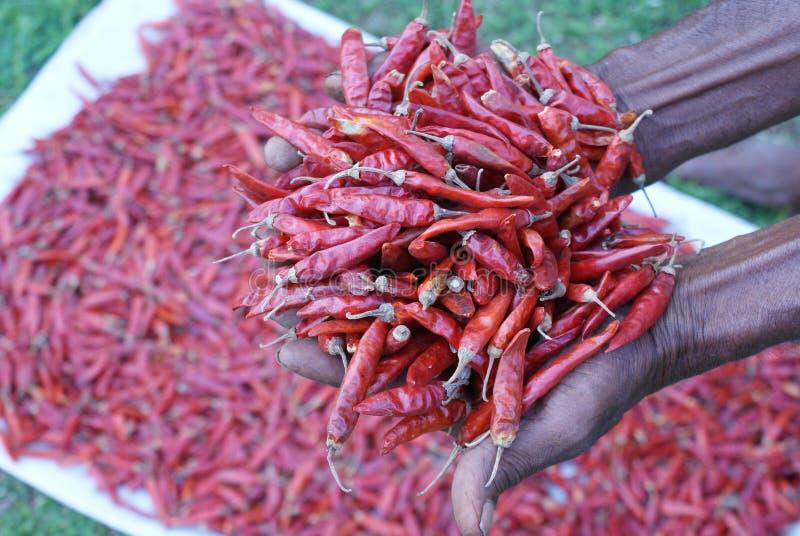 斯里兰卡的红色干辣椒 免版税库存照片