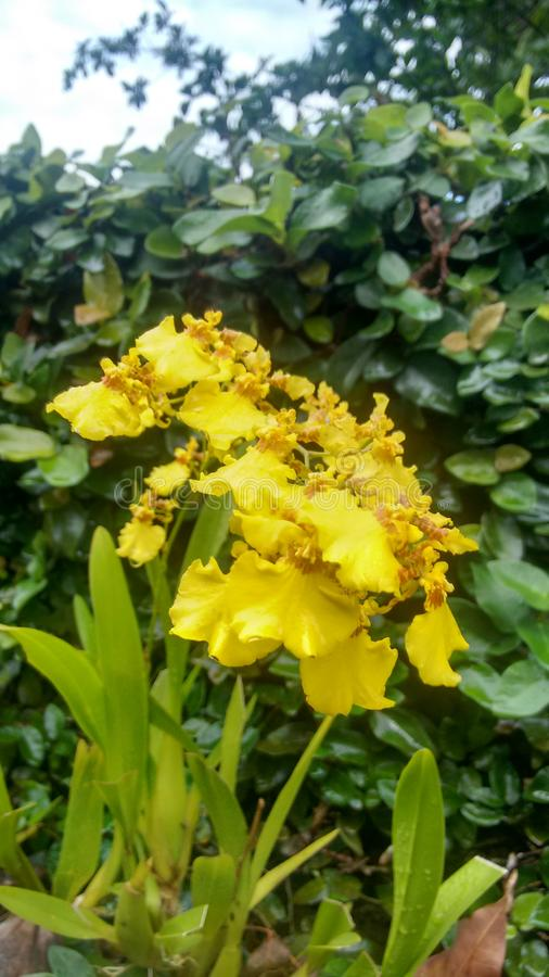 斯里兰卡的自然黄色兰花 库存图片