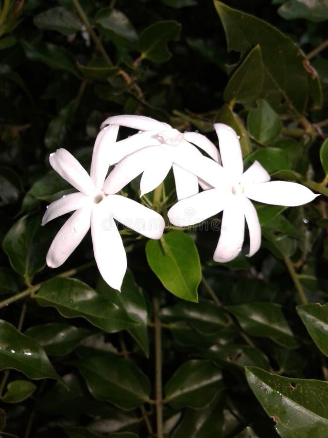斯里兰卡的茉莉花花 免版税库存照片
