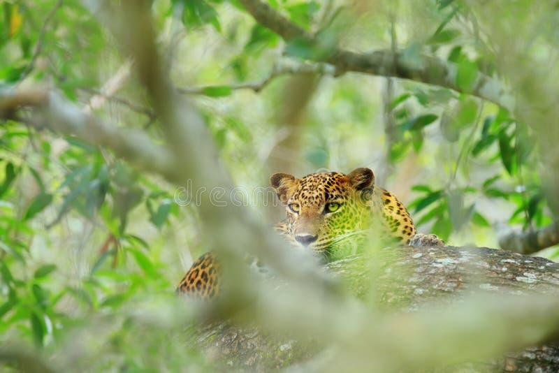 斯里兰卡的豹子,豹属pardus kotiya,大被察觉的猫说谎在树的在自然栖所, Yala国家公园,斯里兰卡 库存照片