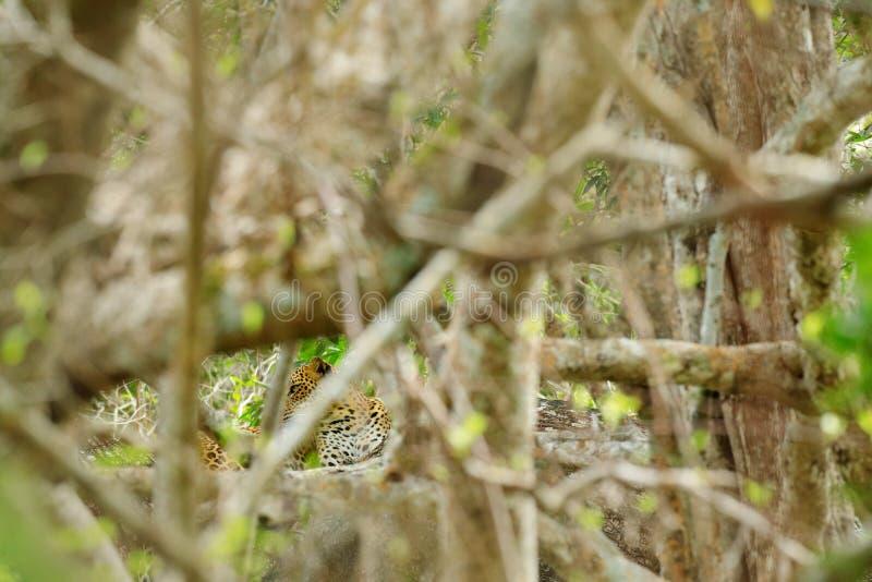 斯里兰卡的豹子,豹属pardus kotiya,大被察觉的猫说谎在树的在自然栖所, Yala国家公园,斯里兰卡 库存图片