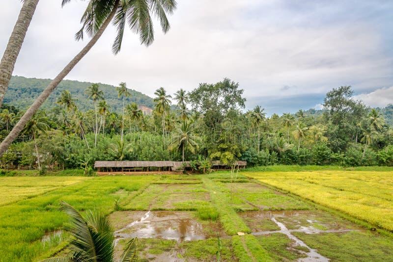 斯里兰卡马塔莱附近的稻田 库存图片