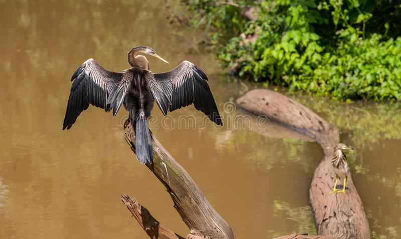 斯里兰卡, Udawalawe国家公园-鸬鹚 库存照片